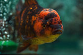 Oranda close up. — Stock Photo