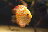 Aquarium fishes. Discus. — Stock Photo