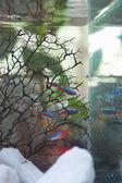 рыбки аквариумные — Стоковое фото