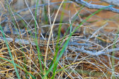 Steppe Ribbon Snake — Stock Photo