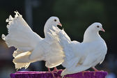 A couple of doves — Stock Photo