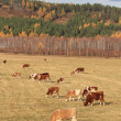 Stock Photo: Cows graze in autumn