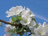 Delicate flower apple — Stock Photo