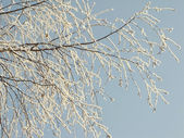 Branch of a tree in frost — Stock Photo