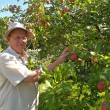 The man gathers apples on a garden site — Foto de Stock