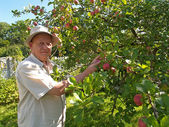 The man gathers apples on a garden site — Stock Photo