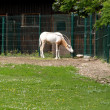 Stock Photo: White oryx in zoo