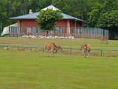 Antelopes of Cannes in a zoo — Stock Photo