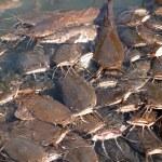 Feeding of som in the Jordan River, Israel — Stock Photo