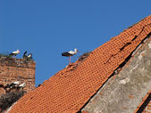 Colony of storks on ruins of old German churchthe — Stock Photo