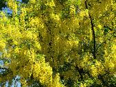 Ducha bobovnik oro floreciente — Foto de Stock