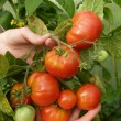 Crop of tomatoes in hands - Stock Photo