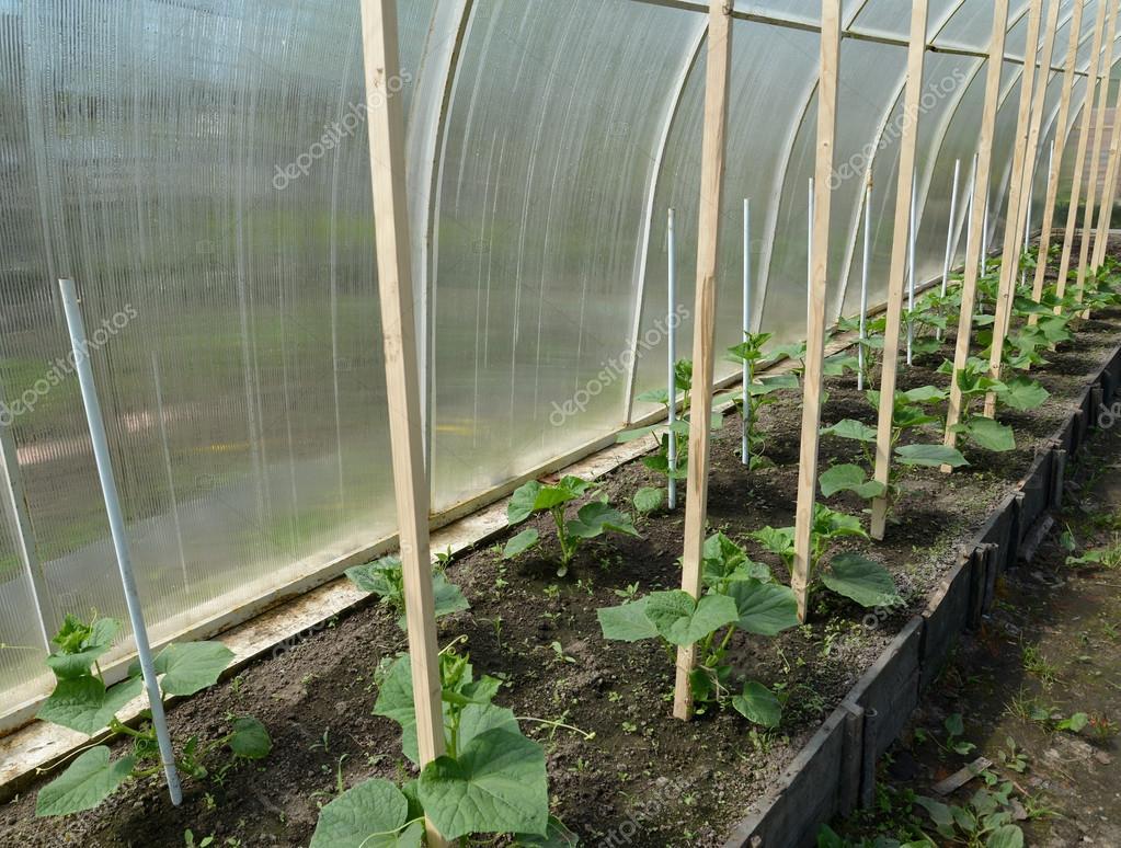 Выращивание огурцов в парниках 32