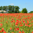 Stock Photo: Field of red poppies in sunny day