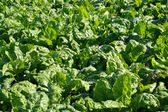 Leaves of fodder beet, background — Stock Photo