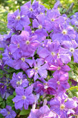 Blossoming clematis, a sort Mephistopheles — Stock Photo