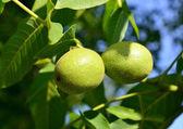 Two green walnuts (Juglans regia) — Stock Photo