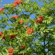 Mountain ash ordinary (Sorbus aucuparia L. ) against the blue sk — Foto Stock