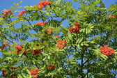 Mountain ash ordinary (Sorbus aucuparia L. ) against the blue sk — Stock Photo
