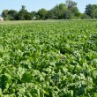 Field of fodder beet — Stock Photo #30111211