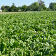 Field of fodder beet — Stock Photo