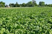 Field of fodder beet — Stock Photo