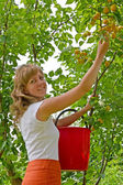 The young woman collects apricots in a garden — Stock Photo