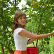 The young woman collects apricots in a garden — Stock Photo #30599003
