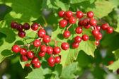 Guelder-rose berries — Stock Photo