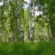 Stock Photo: The birch wood