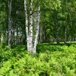 Fern thickets in the birch wood — Stock Photo