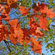 Stock Photo: Bright autumn leaves of oak klenolistny against blue sky