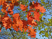 Bright autumn leaves of an oak klenolistny against the blue sky — Stock Photo
