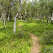 "Footpath among ""dancing"" birches on the Big Solovki island — Stock Photo"