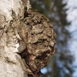 Birch outgrowth — Stock Photo