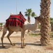 Israel. Camel the dromedary with a body cloth for driving of tou — Stock Photo