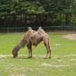 Stock Photo: Fading two-humped camel in zoo