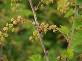 Ladybug on a branch of blossoming red currant (Ribes rubrum L. ) — Stock Photo