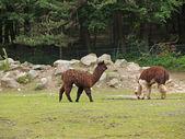 Alpaca in uno zoo — Foto Stock