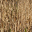 Background from dry reed ordinary — Stock Photo #38396711