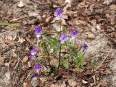 Blossoming violet seaside (Viola maritima) — Stock Photo