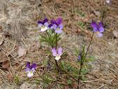 Balneare fiore viola (viola maritima) — Foto Stock