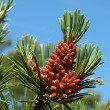 Young cones of pine ordinary (Pinus sylvestris L. ) — Stock Photo #39359055