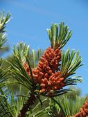 Young cones of a pine ordinary (Pinus sylvestris L. ) — Stock Photo
