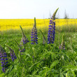 Stock Photo: Lupines against blossoming colza