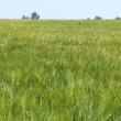 Barley field — Stock Photo #39844293