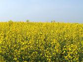 Blossoming colza — Стоковое фото