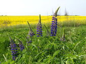 Lupines against a blossoming colza — Stock Photo