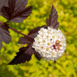 Inflorescence of puzyreplodnik of kalinolistny (Physocarpus op — Stock Photo #41002355