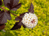Inflorescence of a puzyreplodnik of kalinolistny (Physocarpus op — Stock Photo